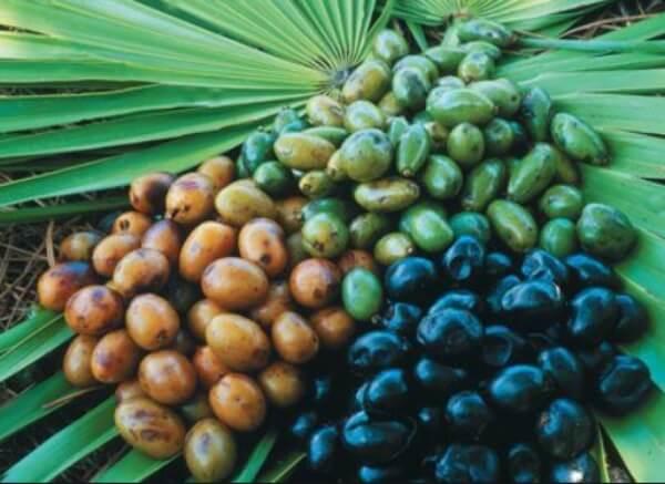 São Palmeto (American Dwarf Palm)